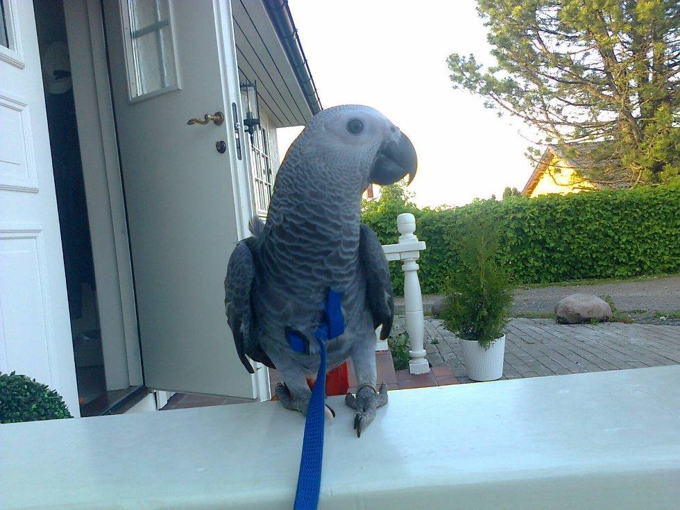 Papegøyen Emma, av slaget grå jaco, er bare fem måneder gammel, men allikevel tøff nok til å fly av gårde på en 24-timers tur helt alene.