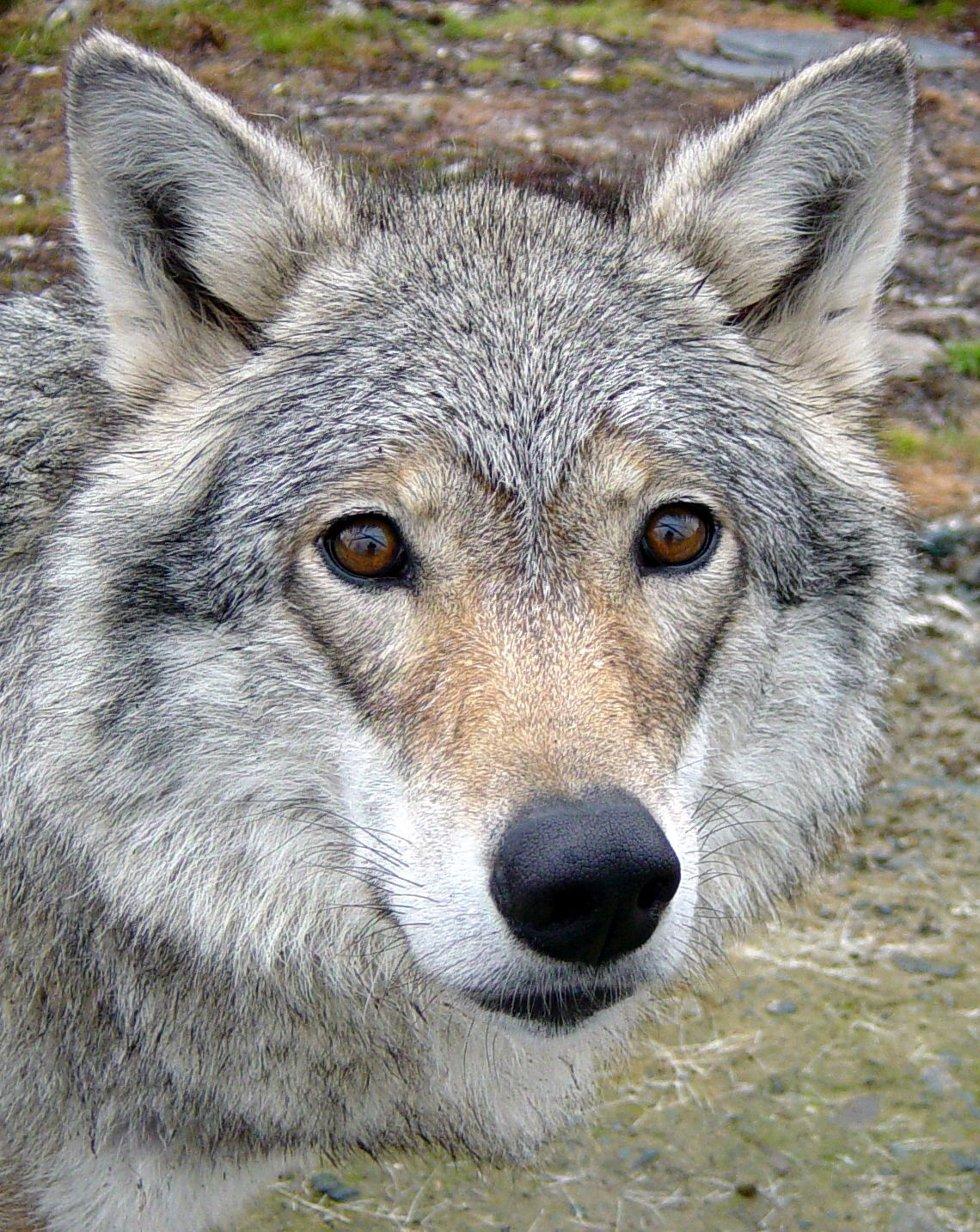 Unni Hansson i rovviltnemnda kan ikke huske at det noensinne er gitt lisensjakt på ulv i Vestfold, ikke før nå.