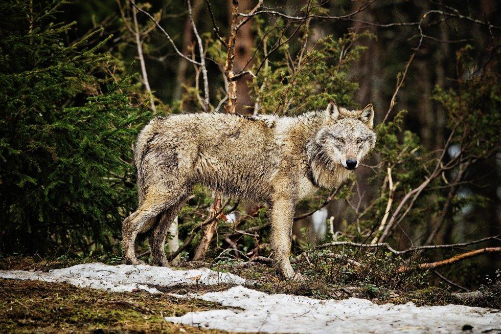 Rovviltnemnda i fylket har gitt fellingstillatelse til en ulv etter sporfunn.