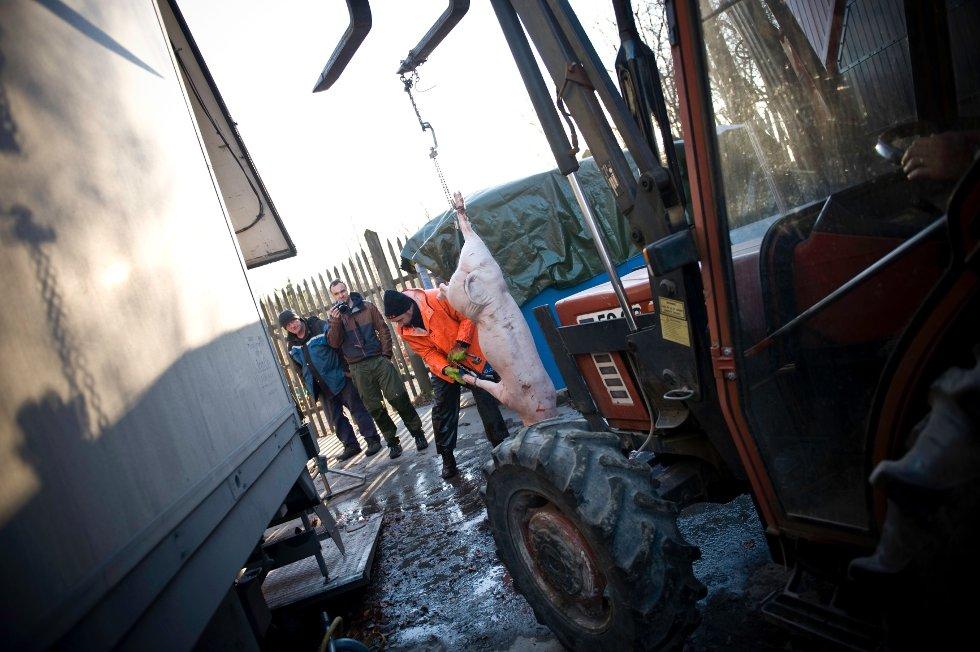 Når skoldingen er ferdig, skal grisen rengjøres i Mobilslakt sin slaktebil.