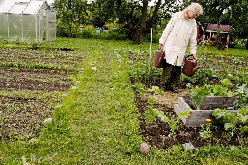 ØKOLOGISK: Inger E. Andresen vanner i hagen som viser vekstskifte i praksis. Vekstene skifter plass i hagen for år til år for å utnytte næringsstoffene og hindre sykdom. Feltet til høyre har i år de mest næringskrevende plantene.