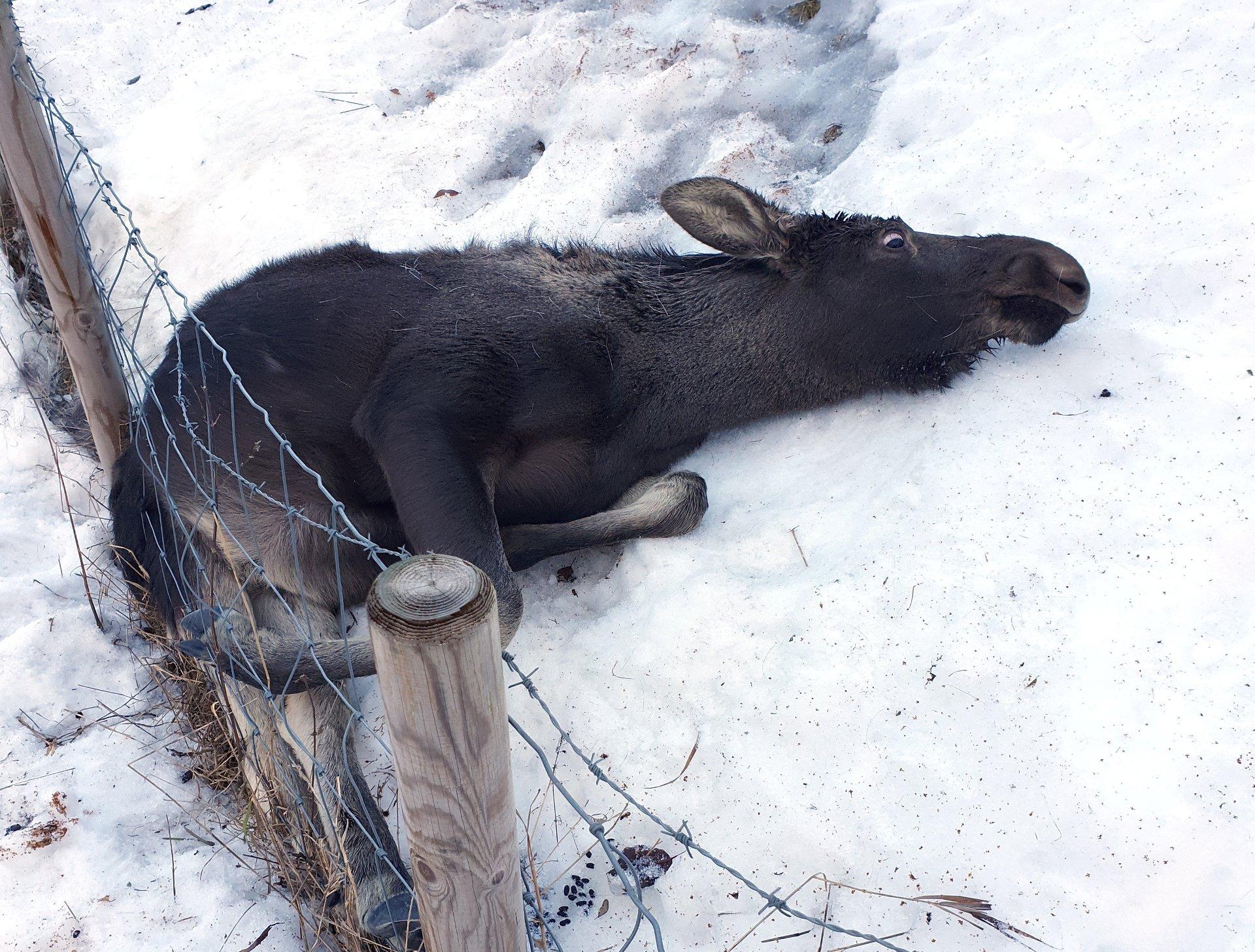 Trodde først elgkalven var død, men så begynte den å slå med beina