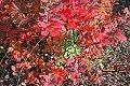 Røde blader