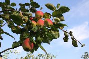 En knallsommer har gitt en god eplehøst. Det gir mange muligheter til å fråtse i matfatet.