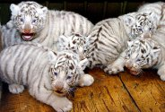 En måned gamle hvite tigerunger leker i dyrehagen i Nanjing i Kina. Dette er tigerungenes første offentige opptreden.