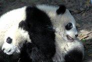 To unge kjempepandaer leker i en dyrehage i Chengdu i Kina. Kjempepandaen har lenge vært truet av utryddelse på grunn av at menneske okkuprerer områdene deres. Kinesiske myndigheter opplyser at 1590 kjempepandaer lever i villmarken men 160 lever i fangenskap.