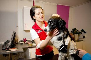 Veterinær Ida Hambiralovic sjekker hunden Dillion etter hasteoperasjonen.