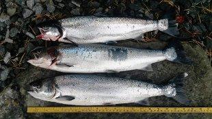 Stongfjorden i Askvoll kommune er full av rømd oppdrettsfisk.