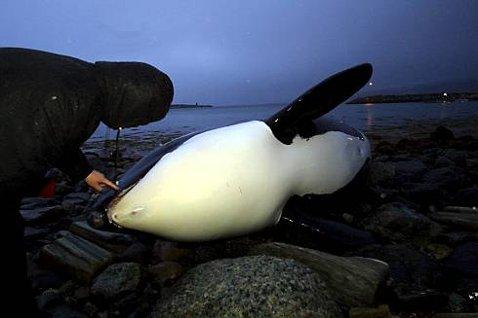 PÅ LAND: En voksen spekkhuggerhunn havnet i går på land i Evenesvika. Flere skuelystne kom for å se på det prektige dyret.(Foto: Ragnar Bøifot)