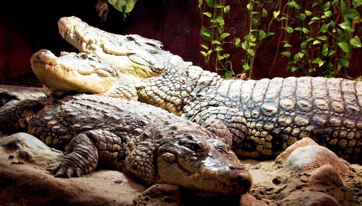Trist nyhet, men krokodiller tar mange liv hvert år i Afrika! thumbnail