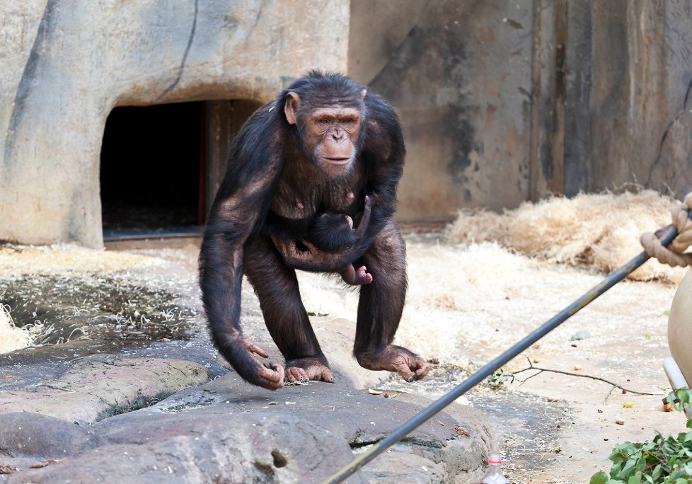 Linus, søtingen ble funnet død fredag. Linus er den andre sønnen til sjimpansen Julius! thumbnail
