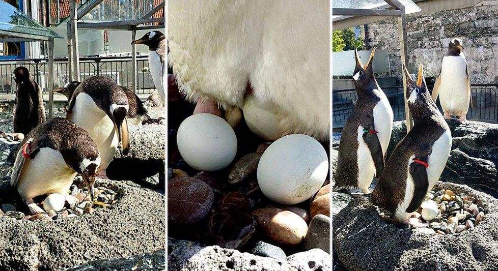 Pingvinene Herman Piele og Pondus har blitt et par og tatt til seg et pingvinegg. - Dette er en gledens dag, stråler direktøren på Akvariet i Bergen, Kees Oscar Ekeli.
