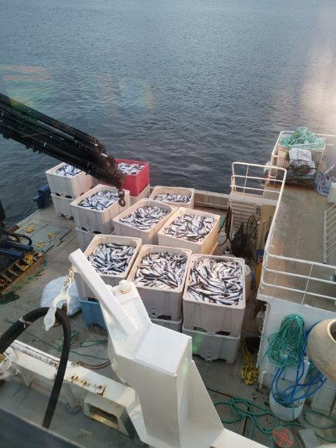 Hardt rammet: Også hos Gratanglaks er det tusenvis av fisk som har dødd, som følge av algeutbruddet. Her er en del av den døde fisken som er hentet opp fra de angrepne merdene.