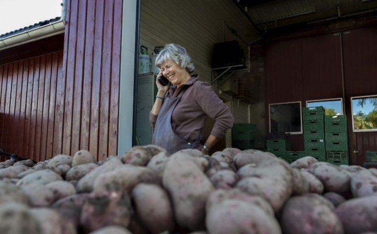 LEFSEPOTET: Ingen fare altså. Inger Fremstad forsikrer om at poteter egnet for lefsebaking er i hus.