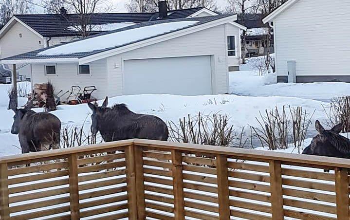 Mange av beboerne på Olderskog har lagt merke til elgfamilien som vandrer rundt i nærområrdet. Alfhild Nordås fikk besøk av de fire elgene i hagen sin på torsdag morgen.