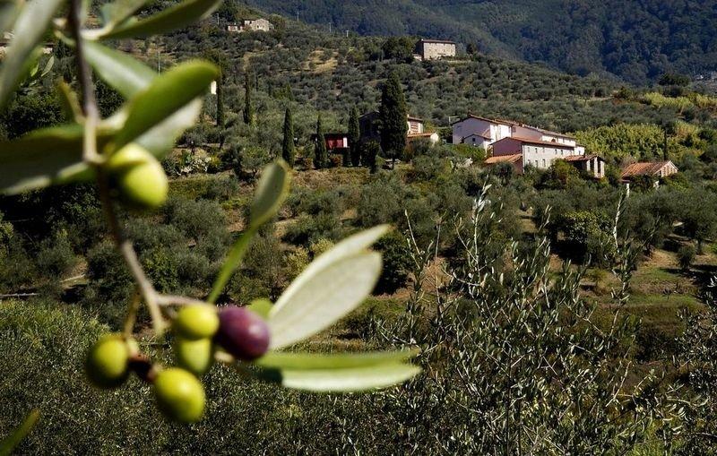 GJESTFRITT: Colle Verde, omkranset av oliventrær og sypresser, ligger cirka et kvarters kjøretur fra Lucca by. Her tilbys både gårdsferie, matkurs og vin- og oljesmaking.