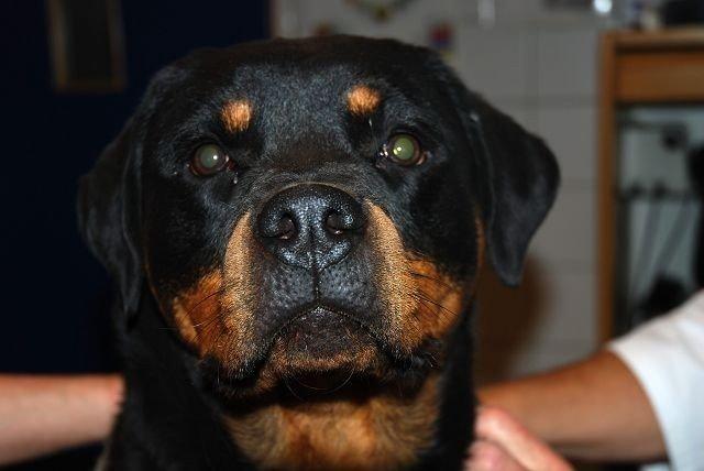 Rottweilerne Amber (1) sjekkes for øyesykdommer.