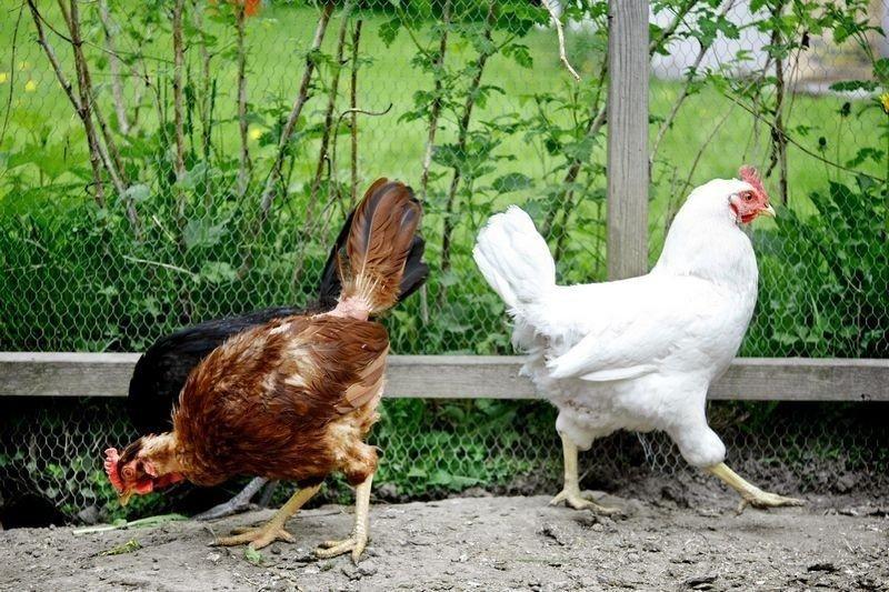 MATVRAK: Hønenes yndlingsbeskjeftgelse er å lete etter mat. Her støvsuger en Red Rhode Island og en Svart Minorca bakken for mikroskopiske fragmenter, mens en Turbo spankulerer ut til høyre.