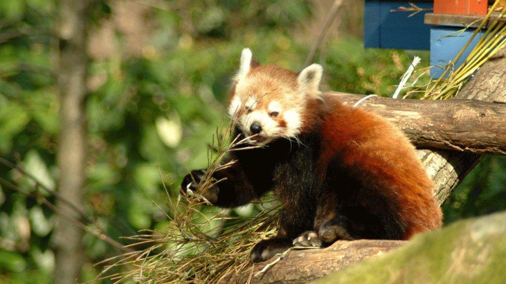 ÉN IGJEN: To pandaunger meldte overraskende sin ankomst til verden 22. juni. Nå er det bare denne ungen igjen, etter at den andre trolig ble spist av fugl.