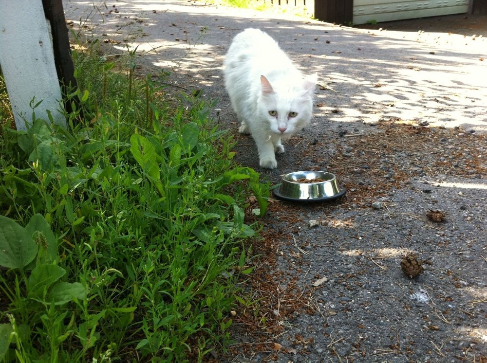 """De andre kattene i nabolaget er redde for """"Snøhvit"""", men aller mest redd er den hvite, pjuskete katten selv, har fotografert av nabo Anita C. Nymark - en av naboene som håper at noen savner katten."""