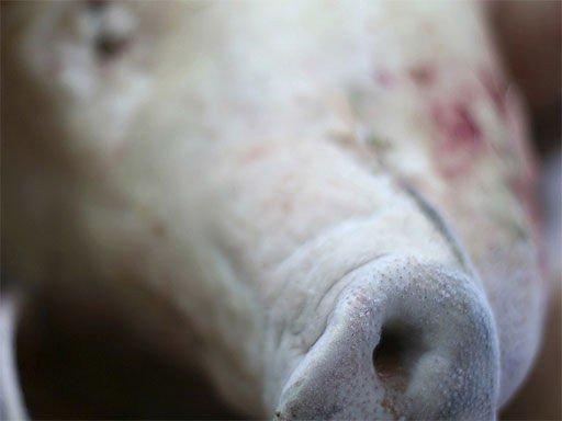 TESTET: 29 grisebesetninger i Nord-Trøndelag er testet, og LA-MRSA bakterien er funnet i sju av disse.