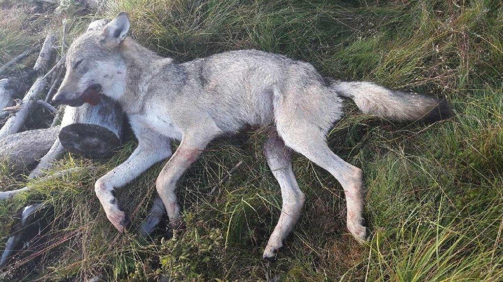 Denne ulven ble skutt av jaktlag i Østre Toten i begynnelsen av august. (Arkivfoto).