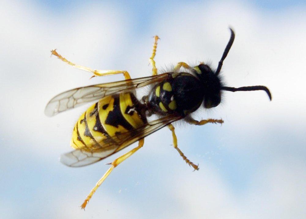 Veps holder bestanden av mygg og fluer nede. I tillegg fungerer de som pollinatorer