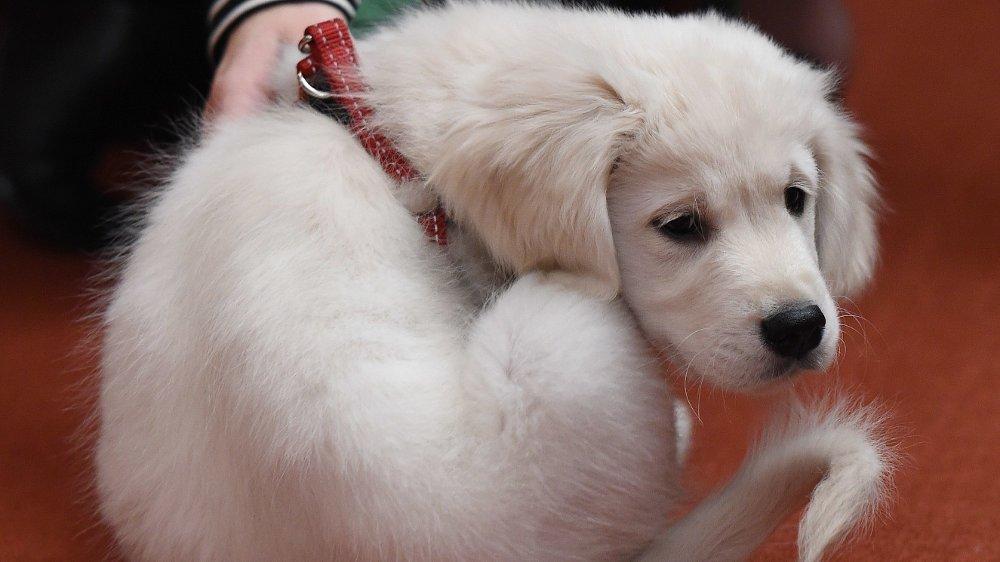 Seks hundevalper er stjålet i Sverige. Hunden på bildet har ikke noe med denne saken å gjøre.