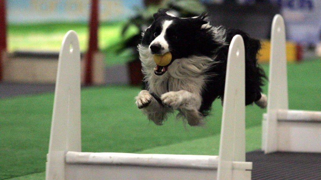 FLYBALL: Actionsport på fire bein, dette må du få med deg!