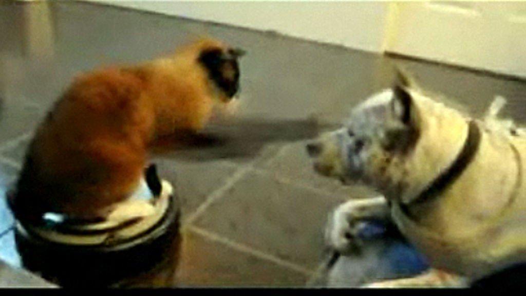 ANGRIP! Katta slår løs på pitbullen, som ikke viser noen tegn til aggressivitet.