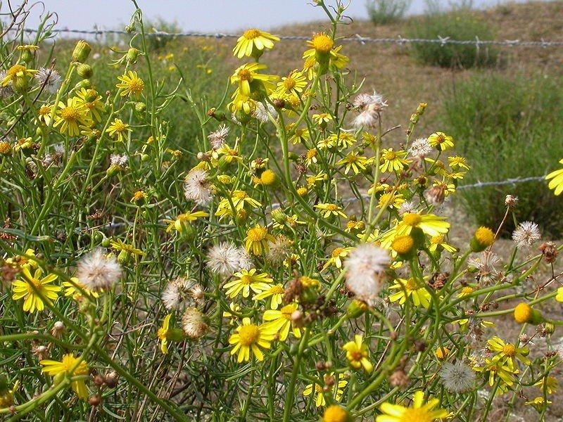 Denne gule blomsten ser kanskje fin ut, men den forårsaker store skader på dyr og mennesker.