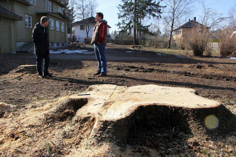 Flere av trærne som nylig er hugget hadde en diameter på godt over en meter. I bakgrunnen naboene Per Arne Eriksen og Joachim Raanaas.