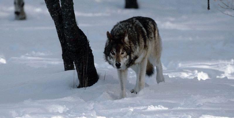 I OSLO: Et ulvepar i brunst har inntatt hovedstaden, og mye tyder på at Oslo kan få sin egen ulvefamilie i løpet av våren. Ulven på bildet har ingenting med saken å gjøre. ILLUSTRASJONSFOTO
