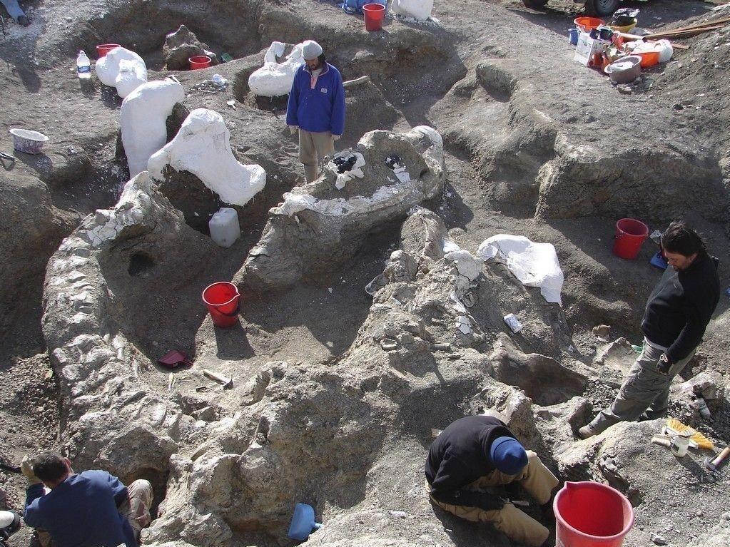 Arkeologer i Argentina offentliggjorde torsdag funnet av et usedvanlig velholdt eksemplar av dinosauren Dreadnoughtus schrani, som typisk veide 65 tonn.