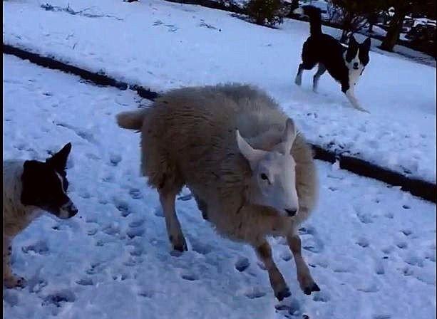 Sauen Pet er godtatt som en av hundene i familien Mackenzie.