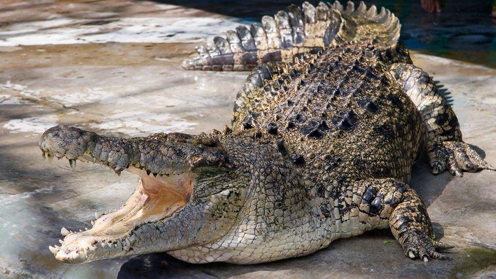KROKODILLE: Politiet frykter at en 65 år gammel mann er spist av en av krokodillene i Quensland i Australia.