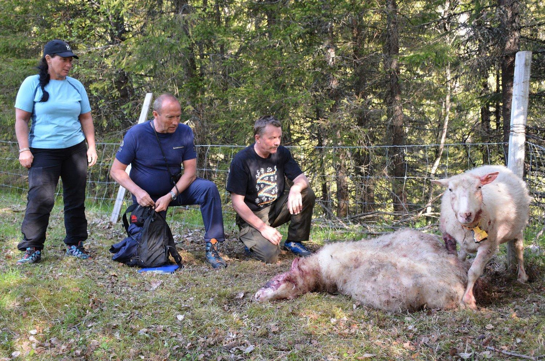- EN TRAGEDIE: Sauebonde Arne Johan Loftfjell (lengst til høyre) er sjokkert etter lørdagens tragiske hendelse. Her ved en av de drepte sauene samt en sau som er såpass skadet at den mest sannsynlig må avlives. Til venstre i bildet kona Elin sammen med Rovviltnemndas John-Helge Vang.