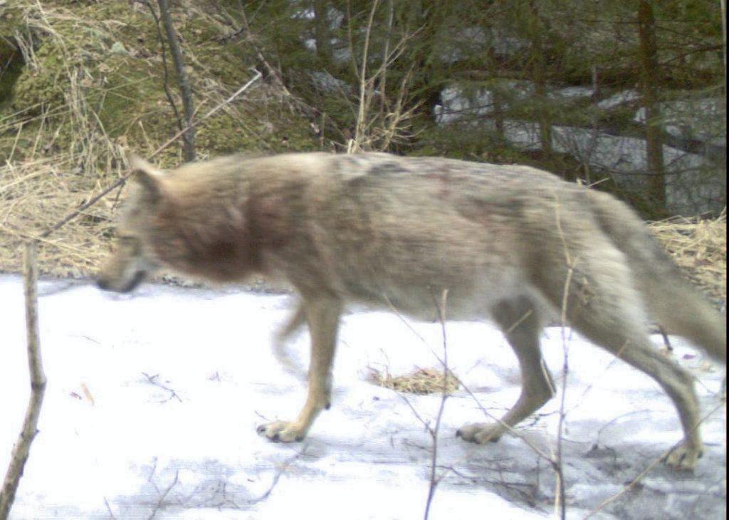 NINA`s viltkamera fanget opp denne drektige ulven i Østmarka 28.april i år. (Norsk institutt for naturforskning (NINA))